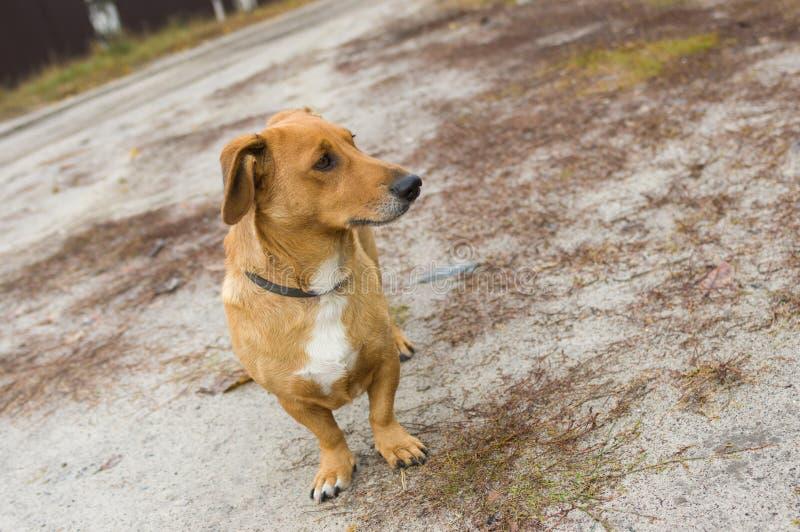 Портрет собаки милой взаимн породы коротк-шагающей стоковая фотография rf