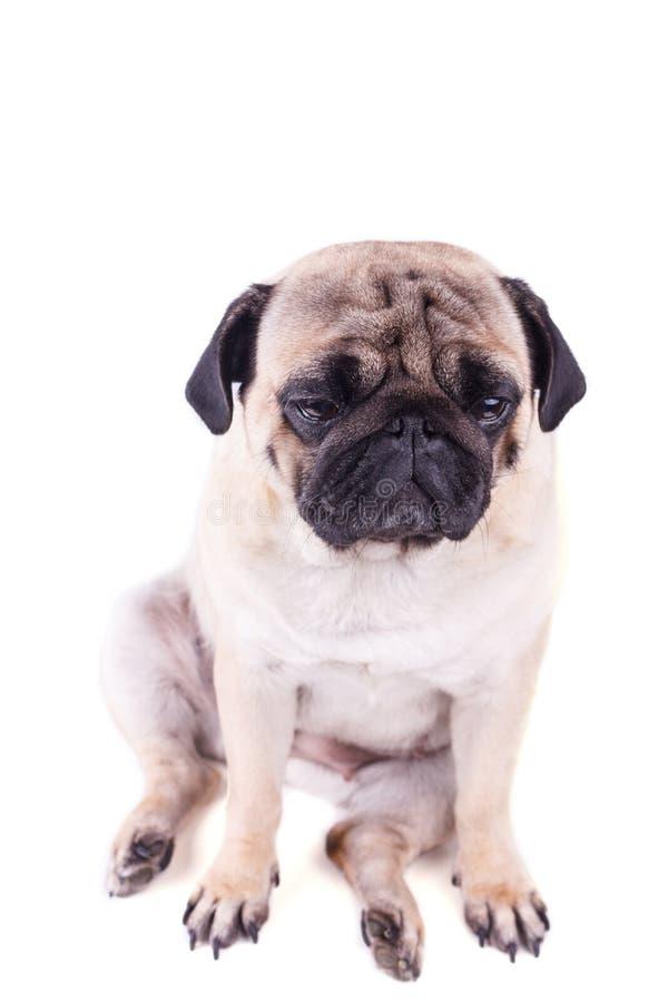 Портрет собаки мопса с большими грустными глазами изолировано стоковое фото