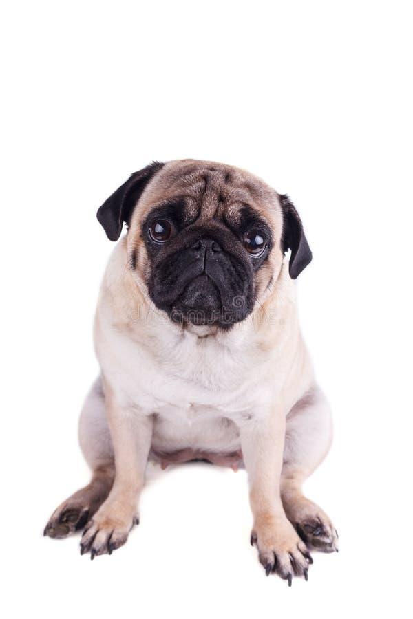 Портрет собаки мопса с большими грустными глазами изолировано стоковые фотографии rf
