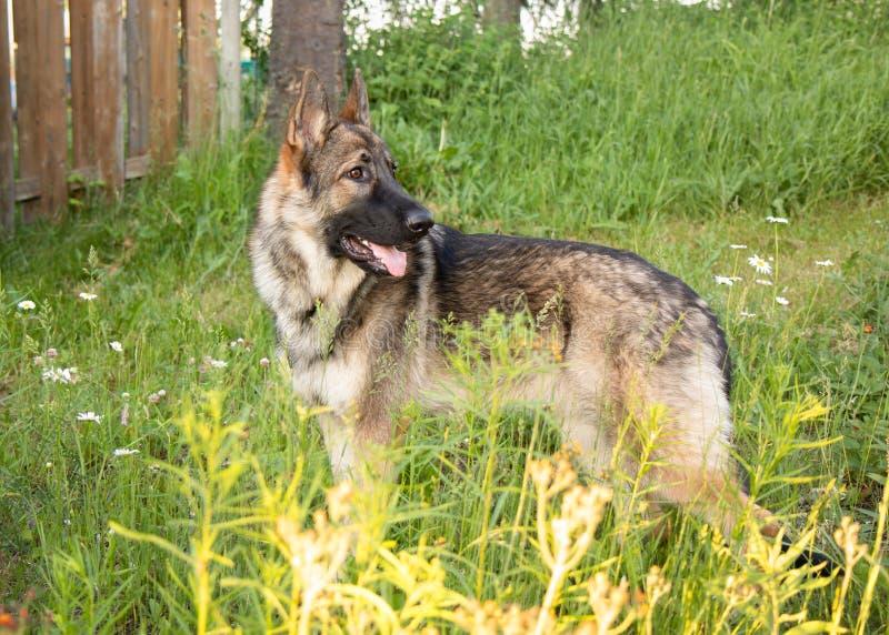 Портрет собаки немецкой овчарки соболя Outdoors стоя стоковое изображение