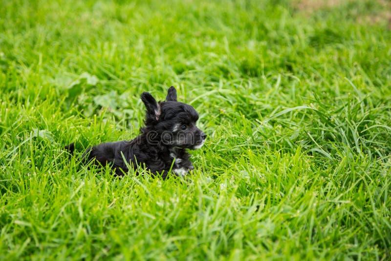 Портрет собаки породы щенка слойки черного порошка китайской crested лежа в зеленой траве на летний день стоковые изображения