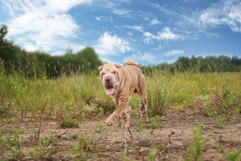 Портрет собаки породы pei Shar на прогулке в парке стоковые фотографии rf