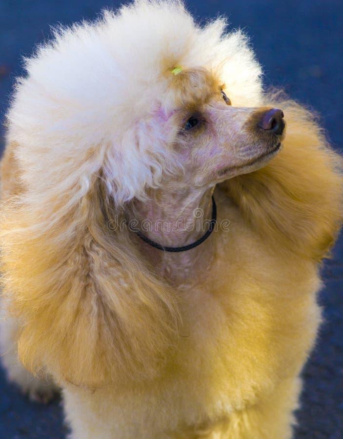 Портрет собаки пуделя стоковые изображения rf