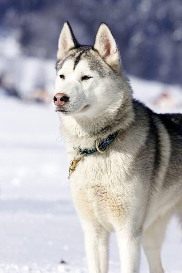 Портрет собаки скелетона сибирской лайки стоковые фото