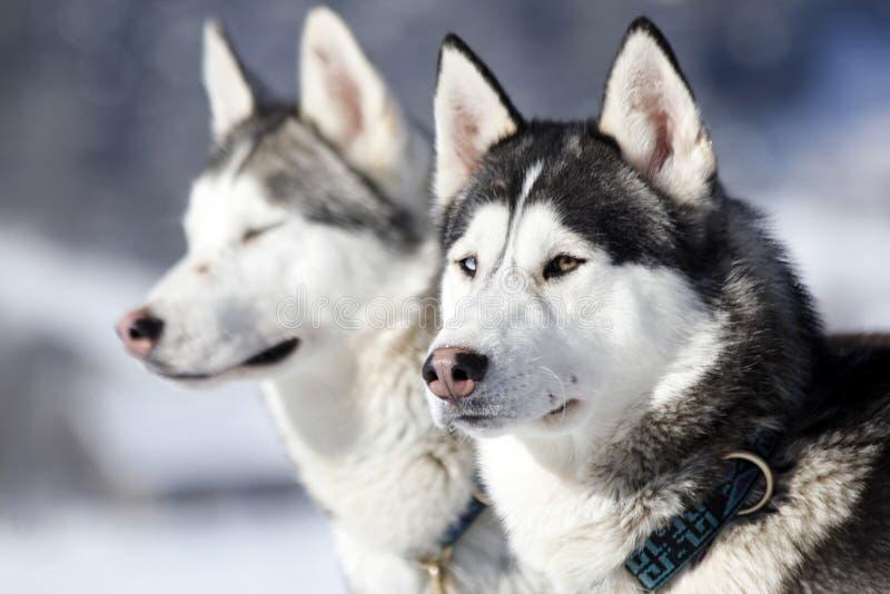 Портрет собаки скелетона сибирской лайки стоковые фотографии rf