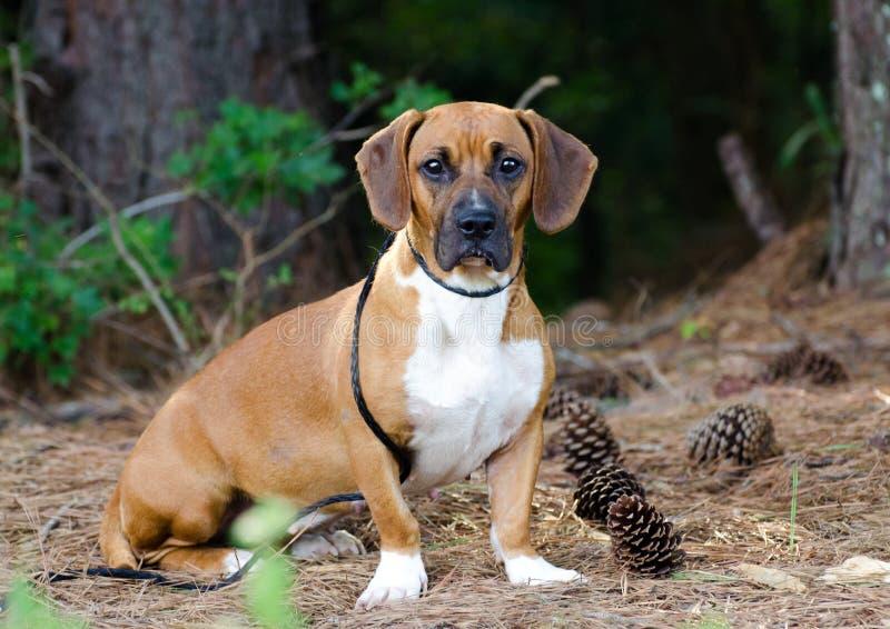 Портрет собаки смешивания гончей выхода пластов стоковые изображения