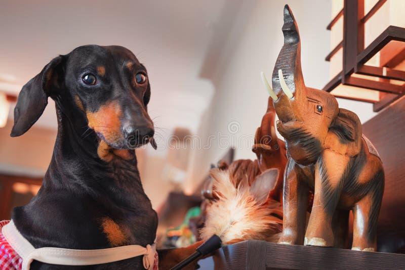 Портрет собаки таксы, черный и загорает, одетый как горничная, пылясь щетка пыли стандартная с собранием сувениров слона стоковые фотографии rf