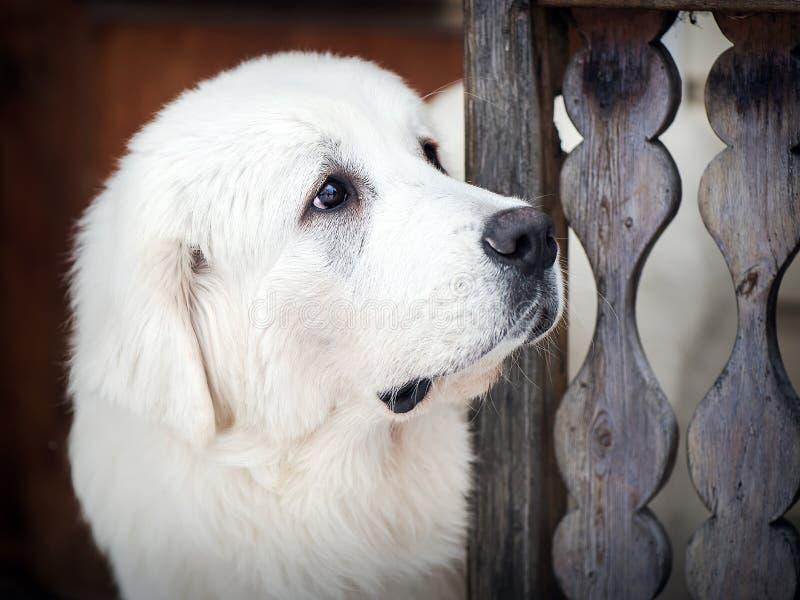Портрет собаки чабана Tatra стоковое фото