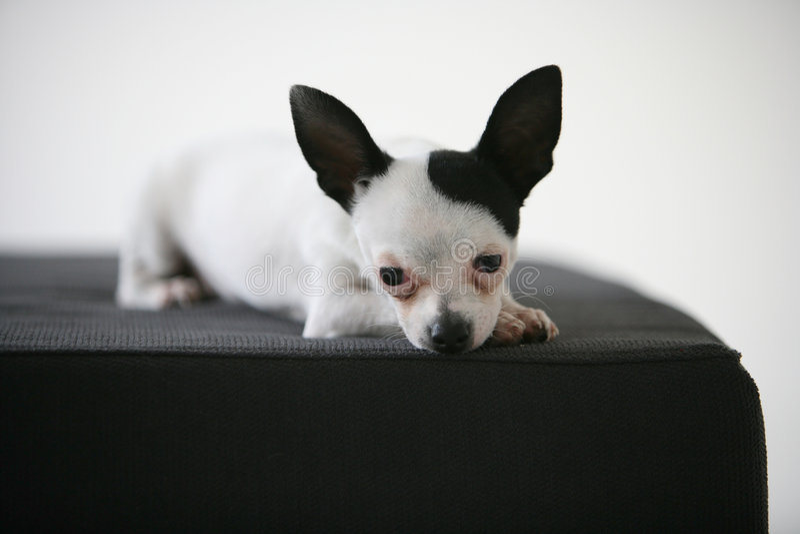 портрет собаки чихуахуа стоковое фото rf