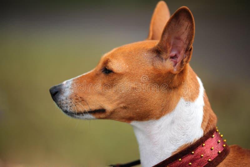 портрет собаки basenji стоковые изображения