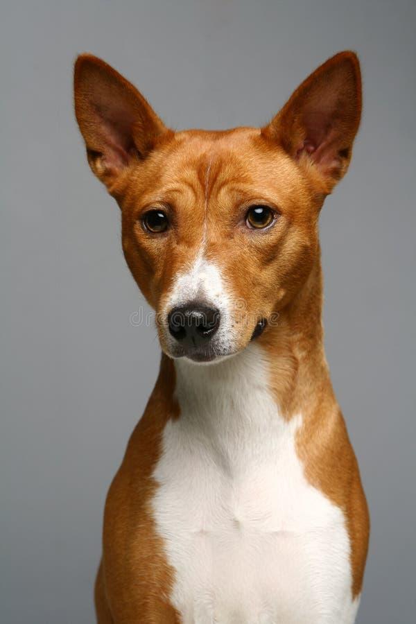 Портрет собаки basenji стоковое фото