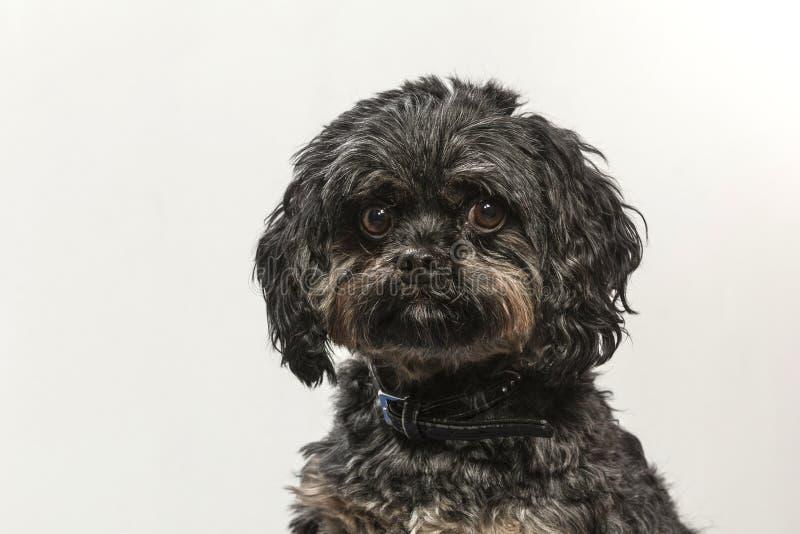 Портрет собаки Bolonka Zwetna стоковое фото rf