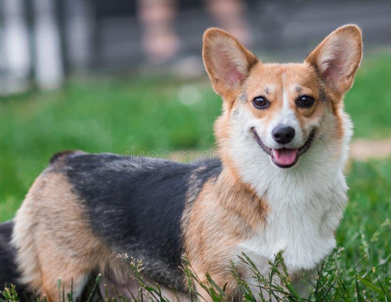 Портрет собаки Corgi Пембрука Собака Corgi Welsh на поле зеленой травы стоковые изображения rf