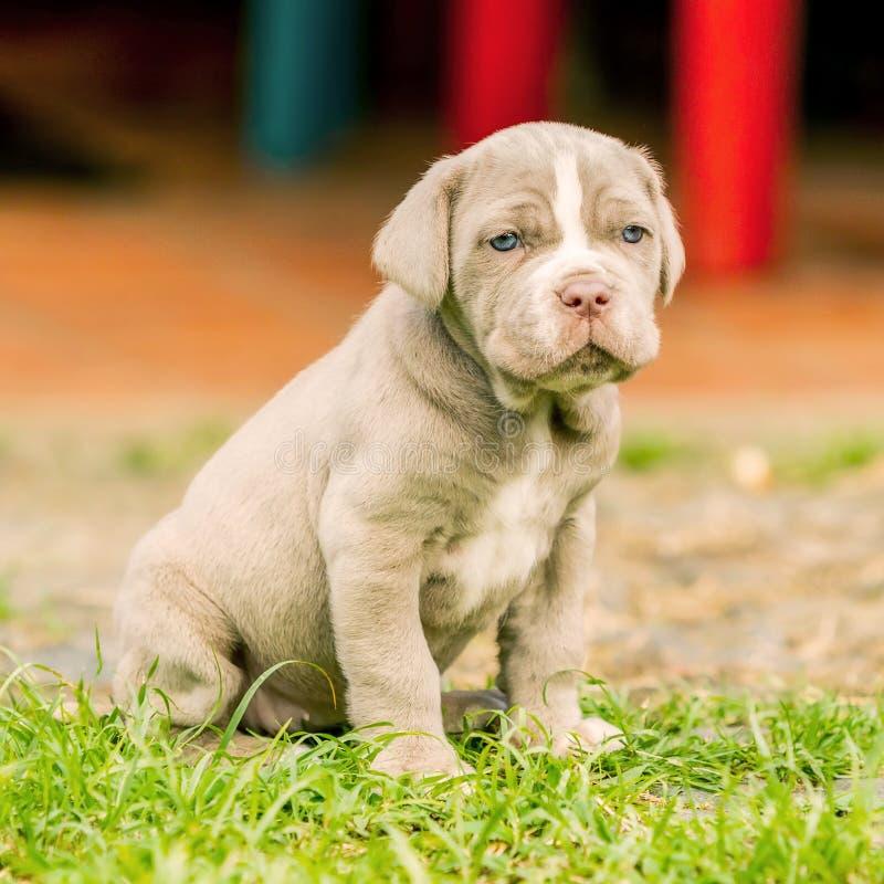 Портрет собаки Mastiff щенка неаполитанской стоковое изображение