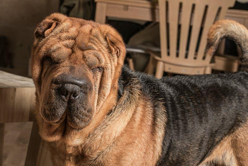Портрет собаки pei Shar стоковое фото rf