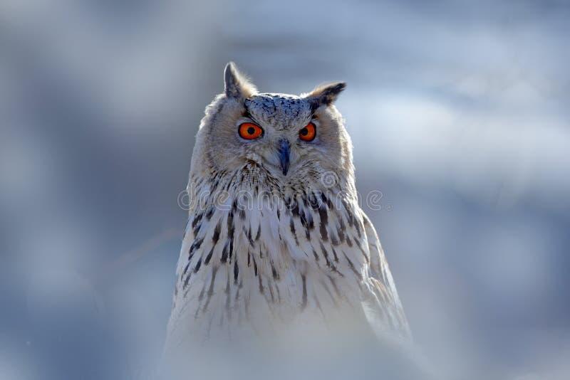 Портрет стороны зимы сыча Восточный сибирский сыч орла, sibiricus bubo Bubo, сидя на пригорке с снегом в березе tr леса стоковые фото
