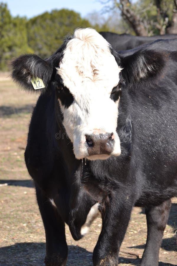Портрет стороны черной коровы Hereford стоковые изображения
