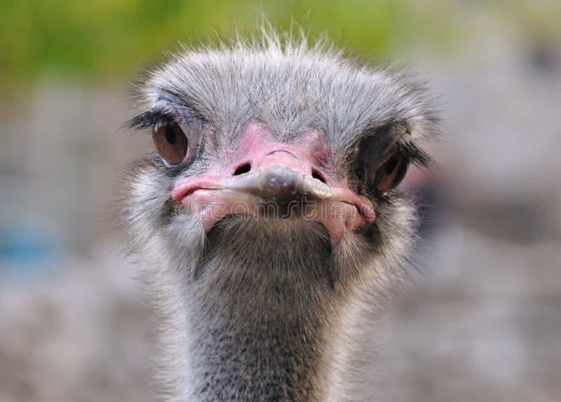 1 портрет страуса стоковое фото rf