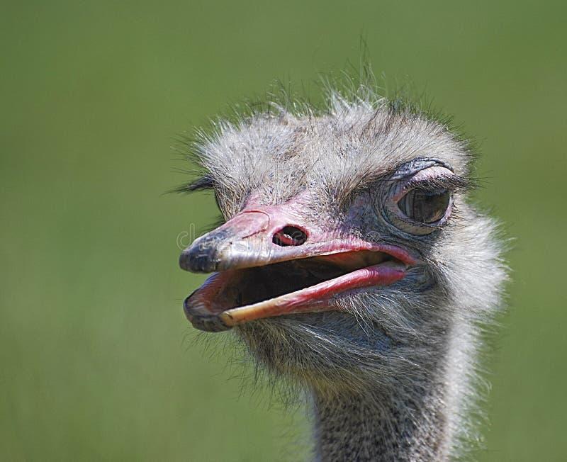 Портрет страуса (camelus Struthio) стоковое фото rf