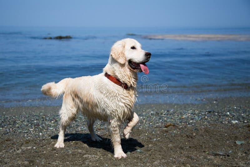 Портрет счастливой и влажной девушки retriever golder на предпосылке моря и голубого неба стоковые фото
