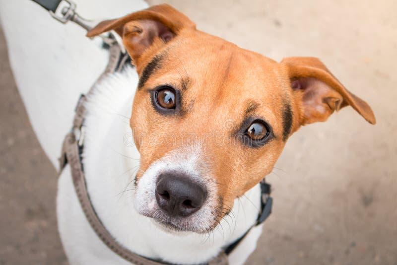 Портрет счастливой собаки поднимает терьера домкратом Рассела смотря камеру стоковое изображение rf