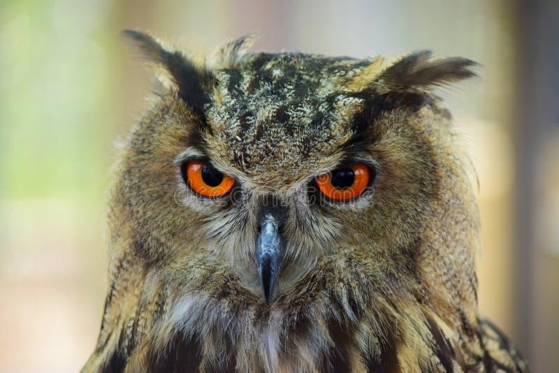 Портрет сыча орла стоковое фото rf