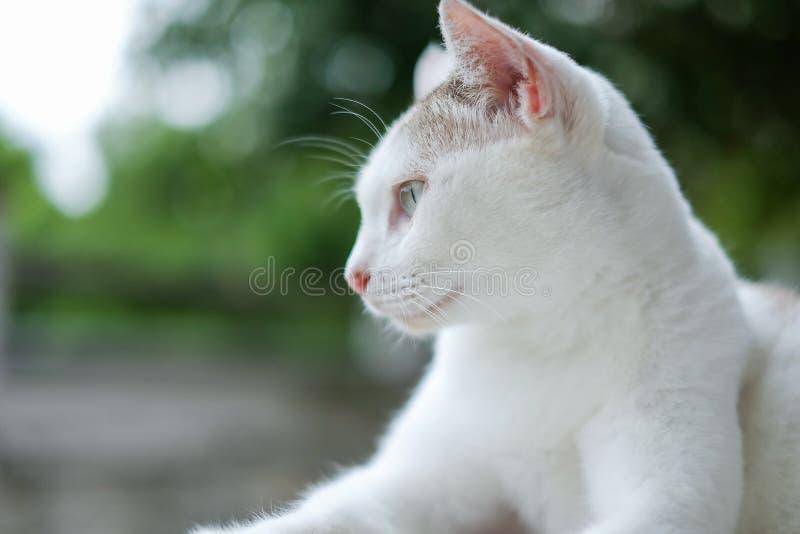 Портрет тайского кота кладя на внешнее посмотрел что-то с запачканной предпосылкой, фильтрованное изображение, селективный фокус стоковые изображения rf