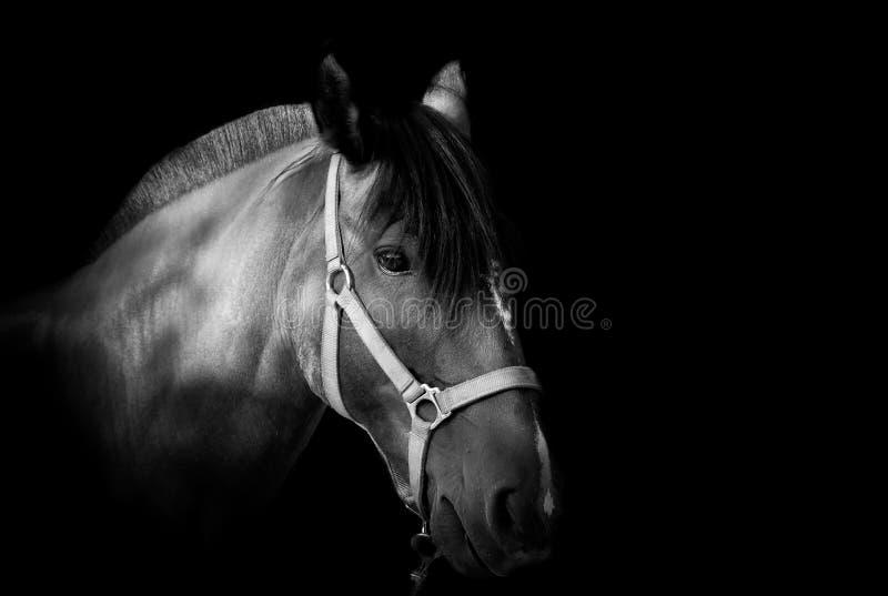 портрет темной лошадки предпосылки стоковое изображение