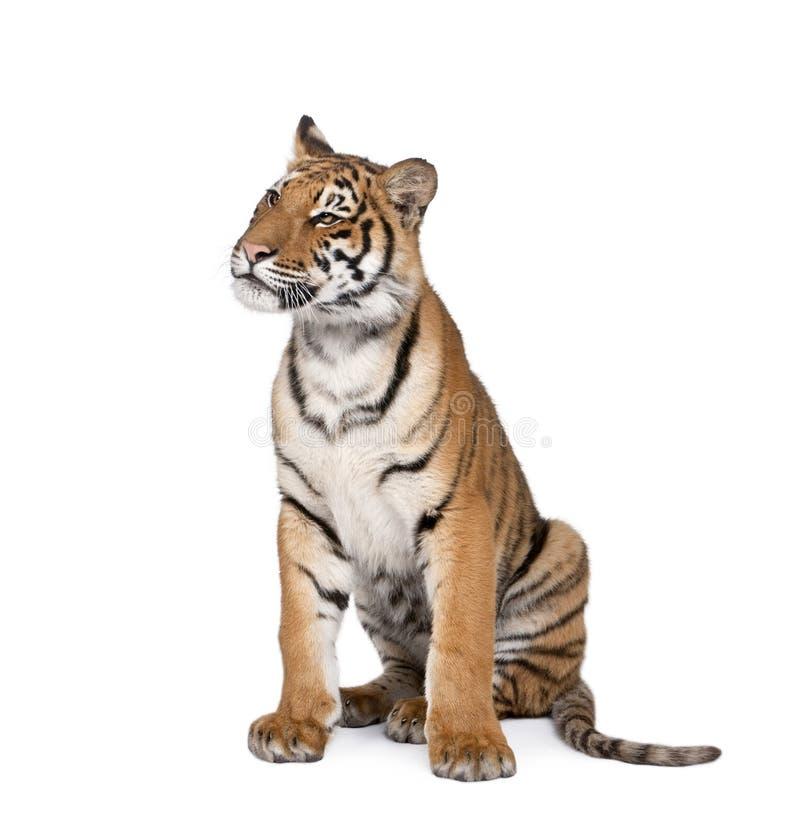 Портрет тигра Бенгалии, пантеры Тигра Тигра, 1-ти летнего стоковые фотографии rf