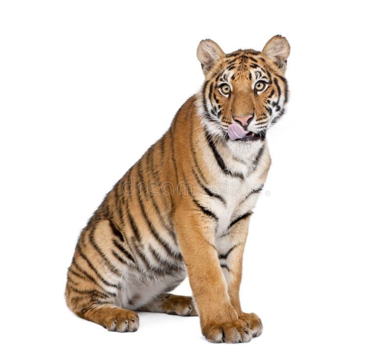 Портрет тигра Бенгалии, пантеры Тигра Тигра, 1-ти летнего стоковая фотография