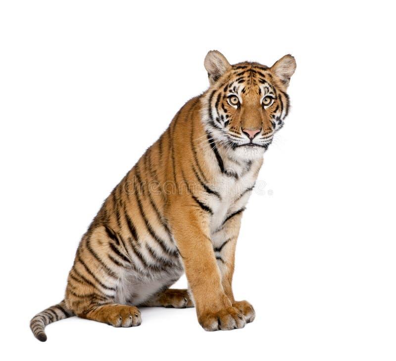 Портрет тигра Бенгалии, пантеры Тигра Тигра, 1-ти летнего стоковые изображения