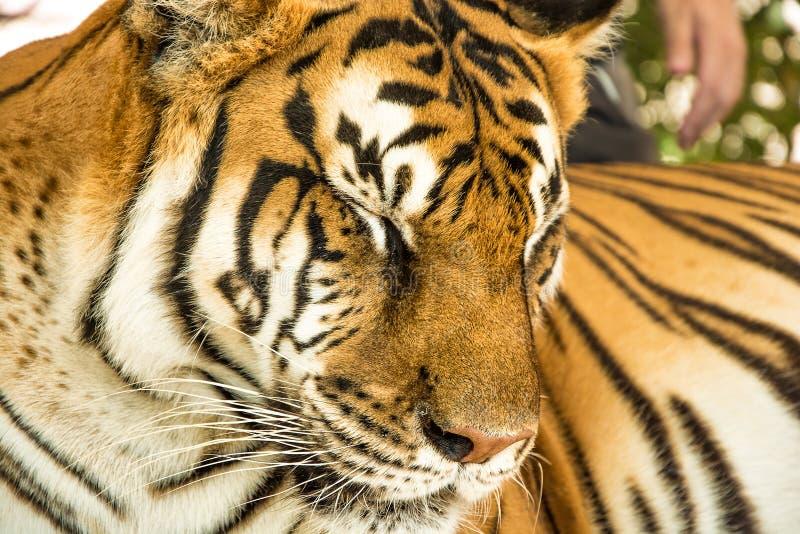 Портрет тигра близкий поднимающий вверх стоковые изображения