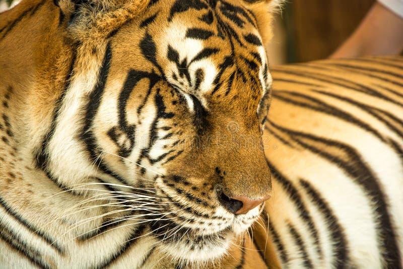 Портрет тигра близкий поднимающий вверх стоковое фото