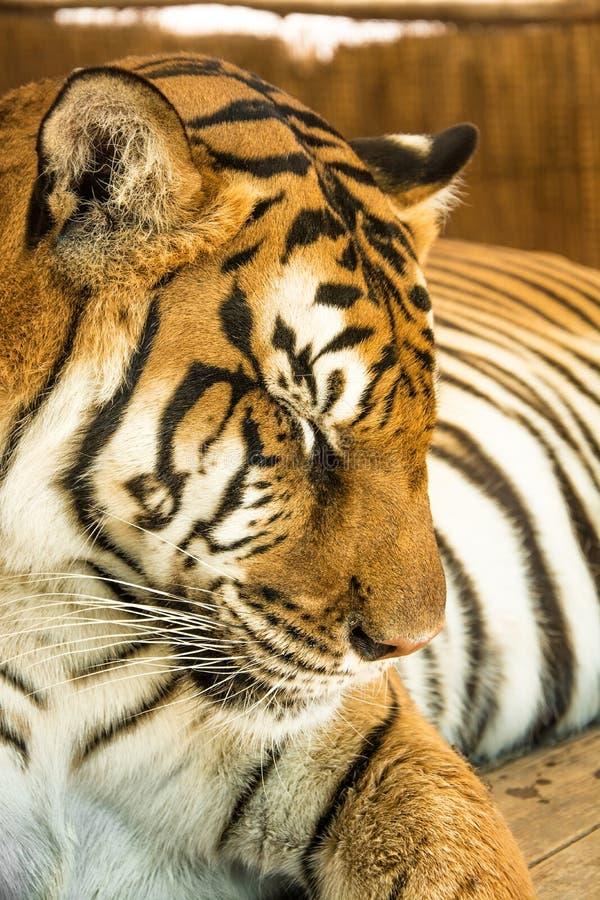 Портрет тигра близкий поднимающий вверх стоковые фото