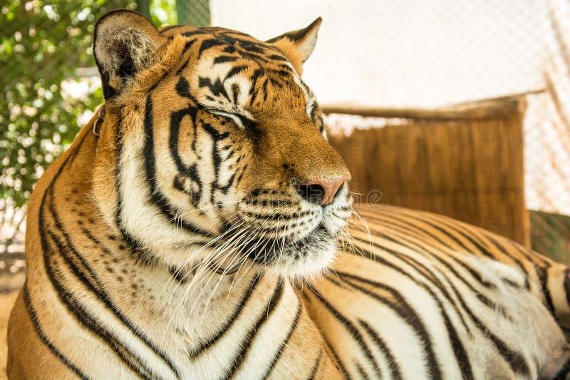 Портрет тигра близкий поднимающий вверх стоковое изображение rf