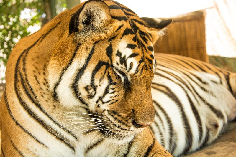 Портрет тигра близкий поднимающий вверх стоковая фотография