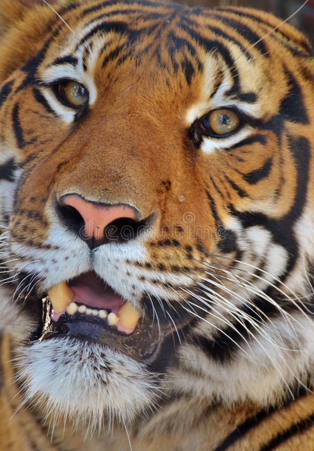 Портрет тигра стоковые изображения