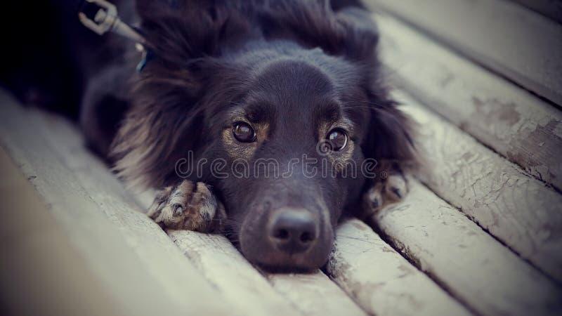 Портрет унылой черной собаки на стенде стоковые фотографии rf