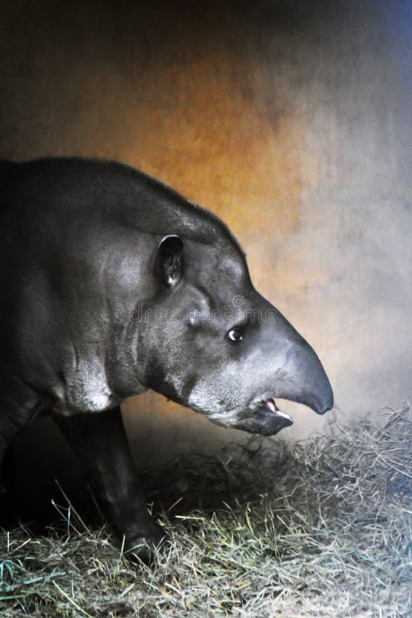 Портрет цвета профиля тапира принятый на зоопарк стоковое изображение