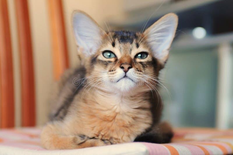 Портрет цвета сомалийского котенка ruddy стоковое изображение rf