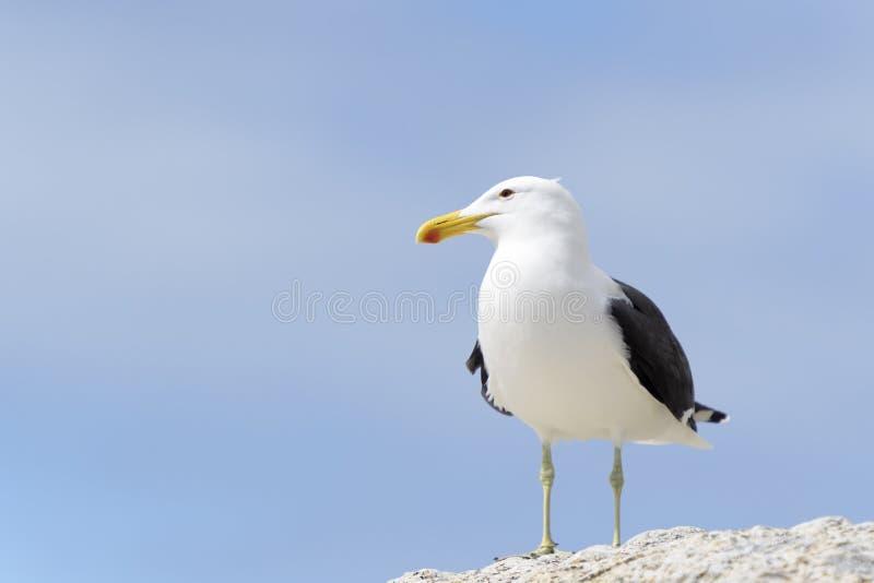 Портрет чайки келпа, низкий угол стоковые фото