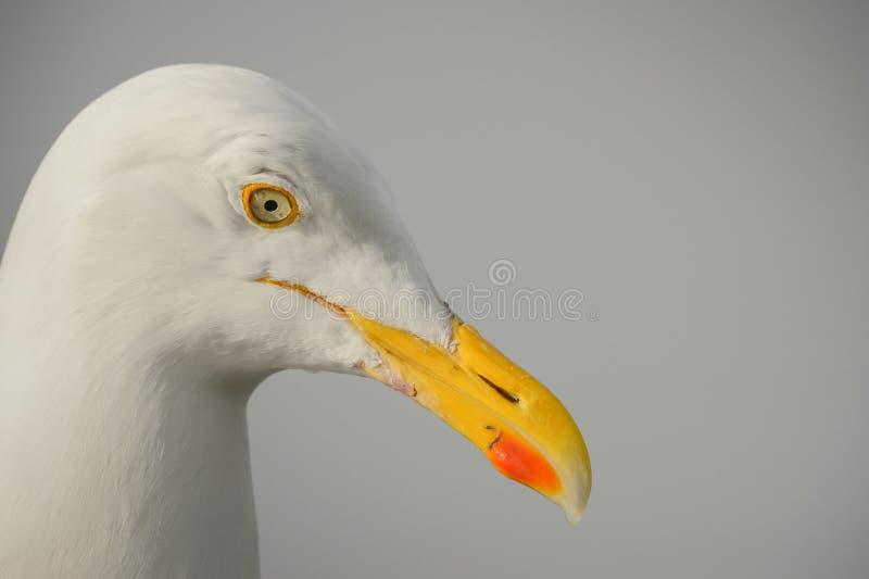 Портрет чайки сельдей стоковое фото rf