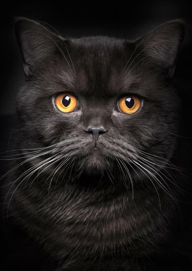 Download портрет черного кота стоковое изображение. изображение насчитывающей меховой - 41658661