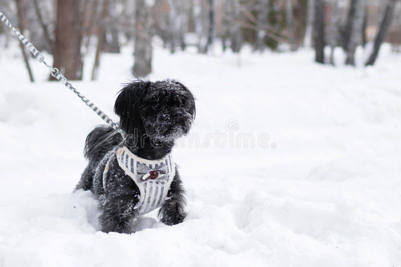 Портрет черного русского покрашенного фенотипа собаки подола на предпосылке coniferous леса на wintertime стоковое фото rf