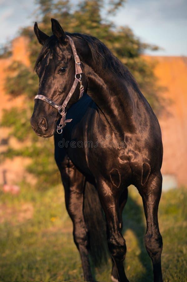 Портрет черного sportive жеребца TRakehner r стоковые изображения rf
