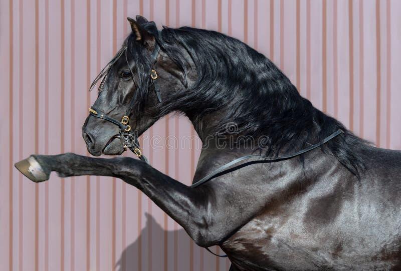 Портрет черной испанской лошади с сильно поднятой передней ногой стоковое фото rf