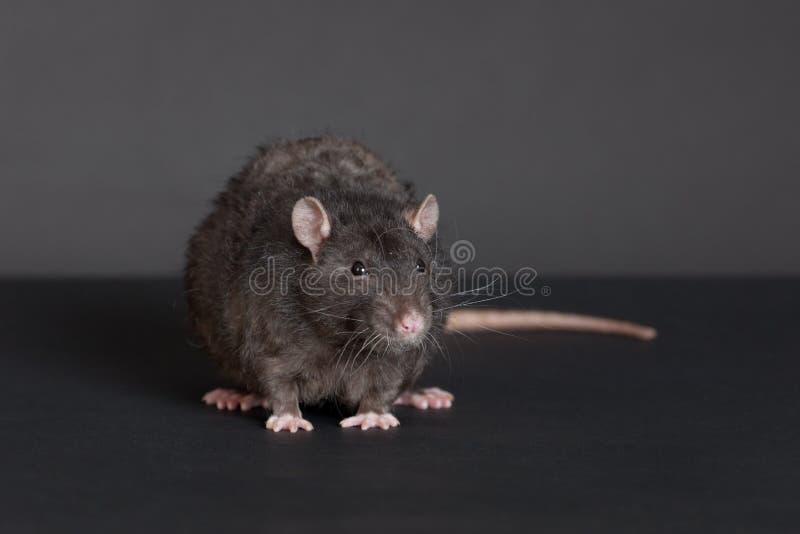 Портрет черной крысы стоковое фото rf