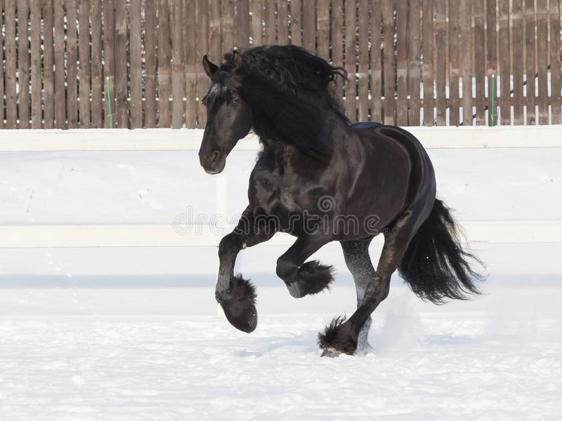 Портрет черной лошади friesian стоковые фотографии rf