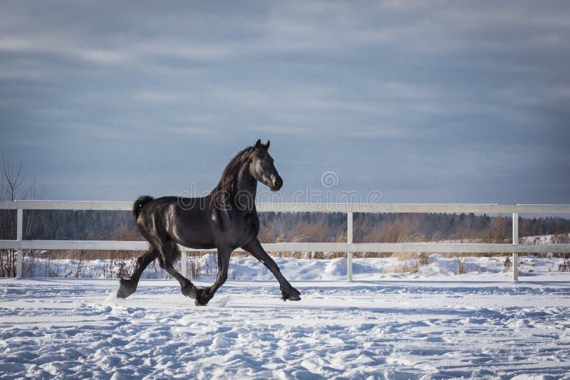 Портрет черной лошади friesian стоковые фото