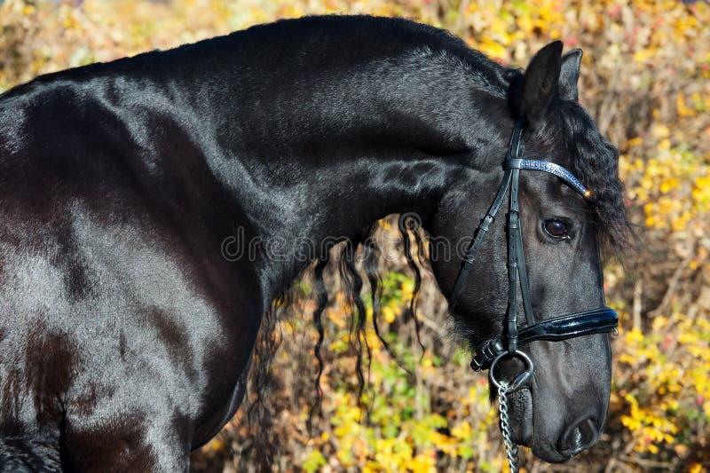 Портрет черной лошади Frisian представляя в красивом месте конец вверх стоковое изображение